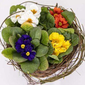 Composizione primule spring